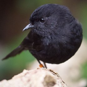 blackrobin