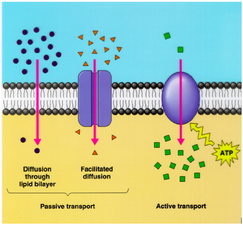 Cell transport pic