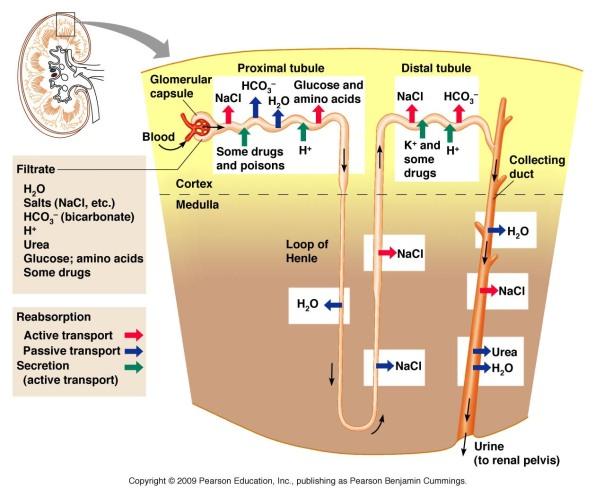 Diagram nephron etc