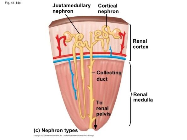 Inside Kidney on Unlabeled Kidney Diagram