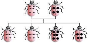 LadybirdInheritance